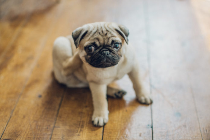 How acupressure helps dogs with skin allergies